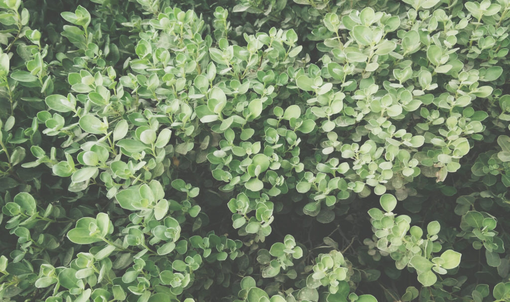 A picture of green leafy branches extend from a bush.