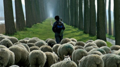 Shown from behind, a shepherd dressed like a hiker leading a flock of sheep down a narrow tree-lined path