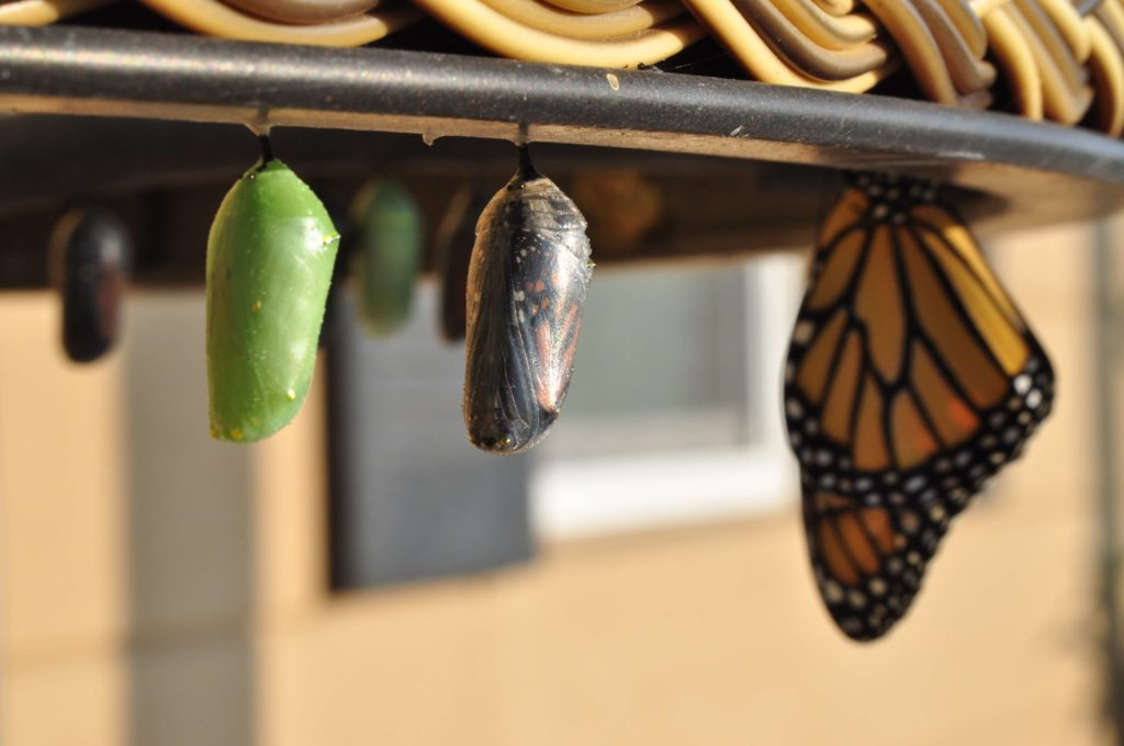 Growth and learning happen as a parent is strategic just like in the picture of the stages of butterfly growth